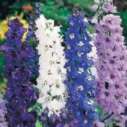 Delphinium Pacific Giants Round table mix Appx 30 seed